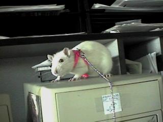 Tristen's rat Tiu