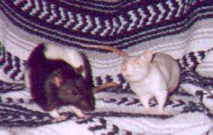 Kristin's rats Bess & Ty
